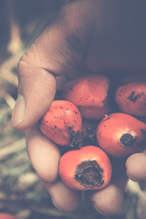 Revealed: The Dutch Plan to Restrict Palm Oil Exports to Europe